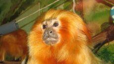 Marmozeta lwia (Ltshears/wikipedia CC BY-SA 3.0)