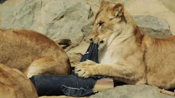 """Dzikie zwierzęta zaprojektowały dżinsy. """"Stworzone przez czysty instynkt zwierzęcy"""""""