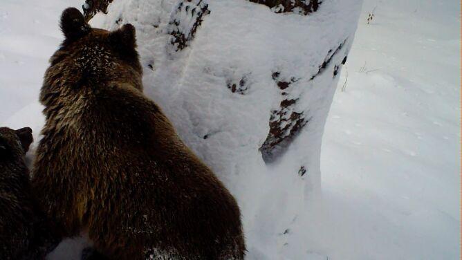 """""""Niedźwiedzica ogląda gawry"""". <br />W poszukiwaniu miejsca do snu"""