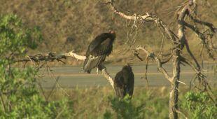Kondory kalifornijskie zdewastowały dom w Kalifornii
